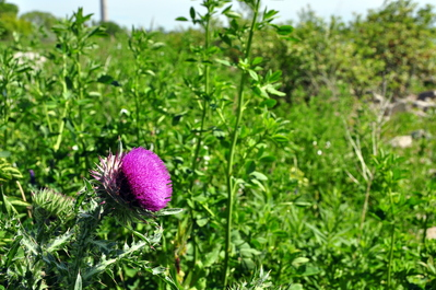 A thistle in full bloom